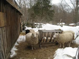 More sheep at Coggeshall Farm