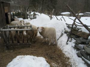 Sheep at Coggeshall Farm
