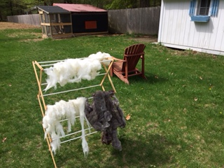 alpaca fiber I dyed and is drying in the backyard