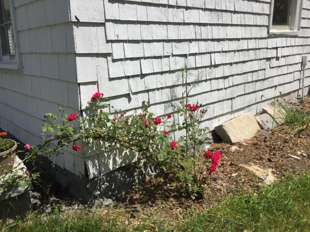 little rose bush