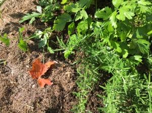 fall-leaf-in-herb-spiral