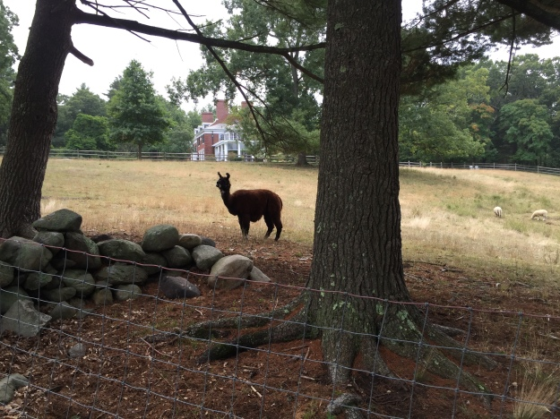 llama-at-bradley-estate-2016