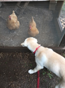 dog with chickens